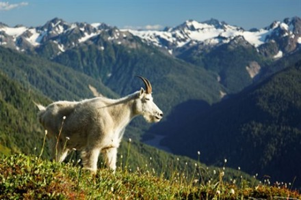 Mountain goat in Bailey Range overlooking Hoh River valley and Mount Olympus